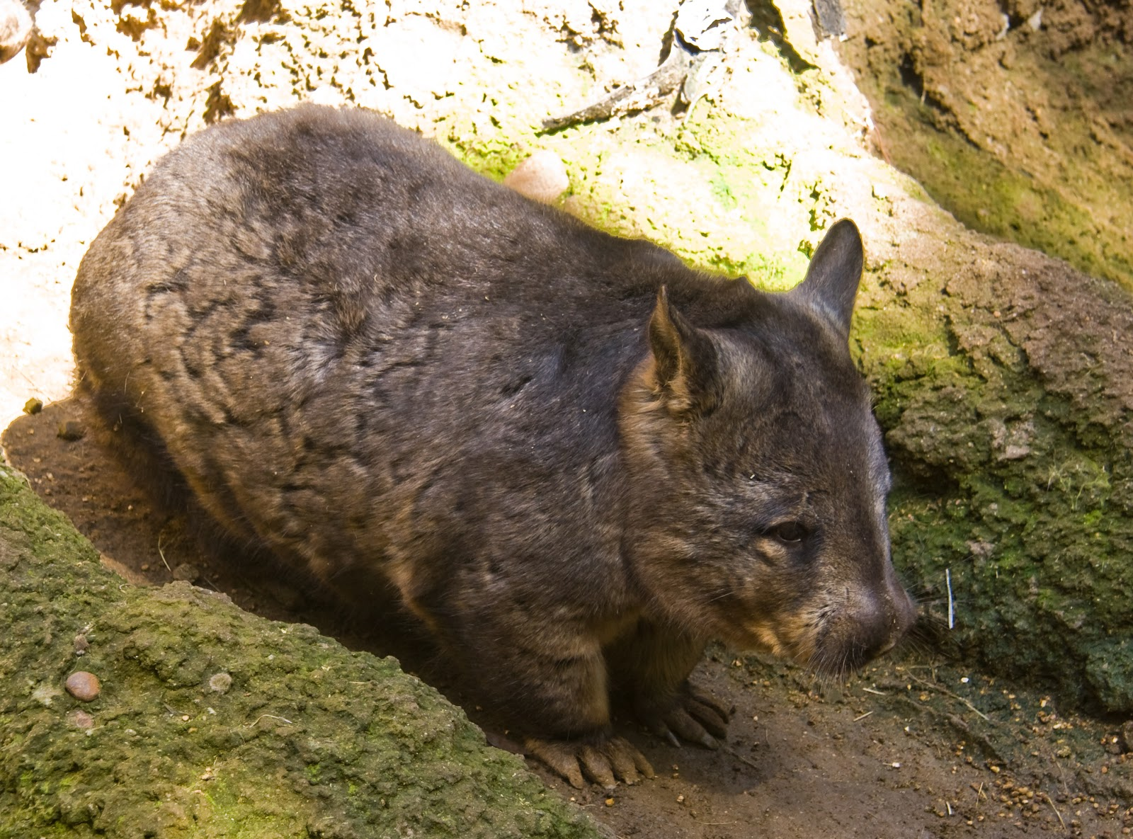 Wombat Wallpapers & Images | Fun Animals Wiki, Videos ...