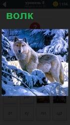 В заснеженном лесу около вечно зеленых елок стоит волк и высматривает свою добычу