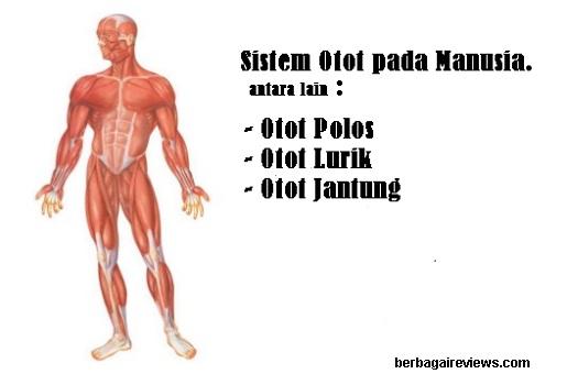 Sistem Otot Pada Manusia Lengkap Fungsi Otot Jenis Jenis Otot Struktur Muscle System In Humans Berbagaireviews Com