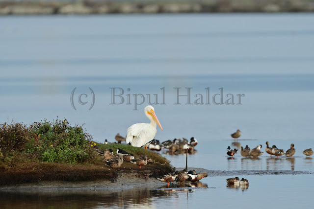 A Great White Pelican in Duck Island