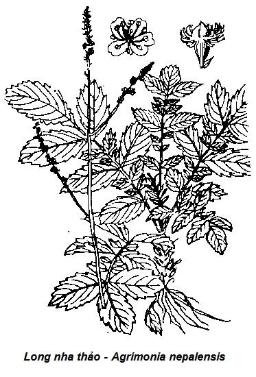 Hình vẽ Long nha thảo - Agrimonia nepalensis - CẦM MÁU