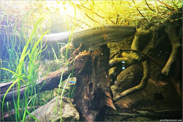 Anguilas Eléctricas del Amazonas en el Acuario de Boston