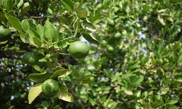 Lima (Citrus aurantium subsp. bergamia (Risso) & Arm.)