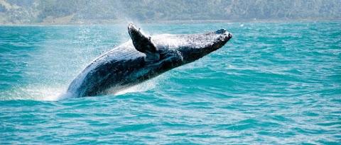 Elhallgat a bálnák éneke, ha hajó közeledik