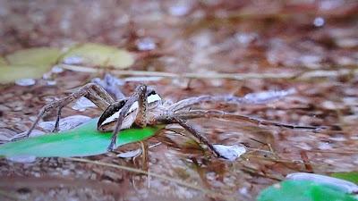 avcı örümcek
