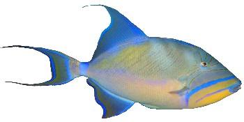 Peixe Porco (Balistes vetula)