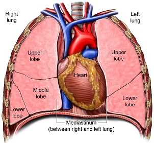 in and out march 2013 Diagrams of the Lungs and Heart Together Heart u0026 Lungs diagram