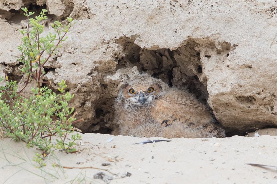 Pharaoh Eagle Owl - young