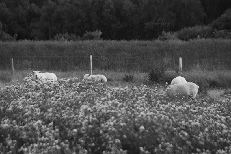 Schwarz-Weiß-Fotografie Schafe Weide Bokeh, Damm Wittdün auf Amrum im Sommer