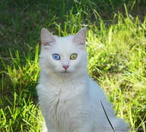 Kucing Dengan Warna Mata yang Berbeda
