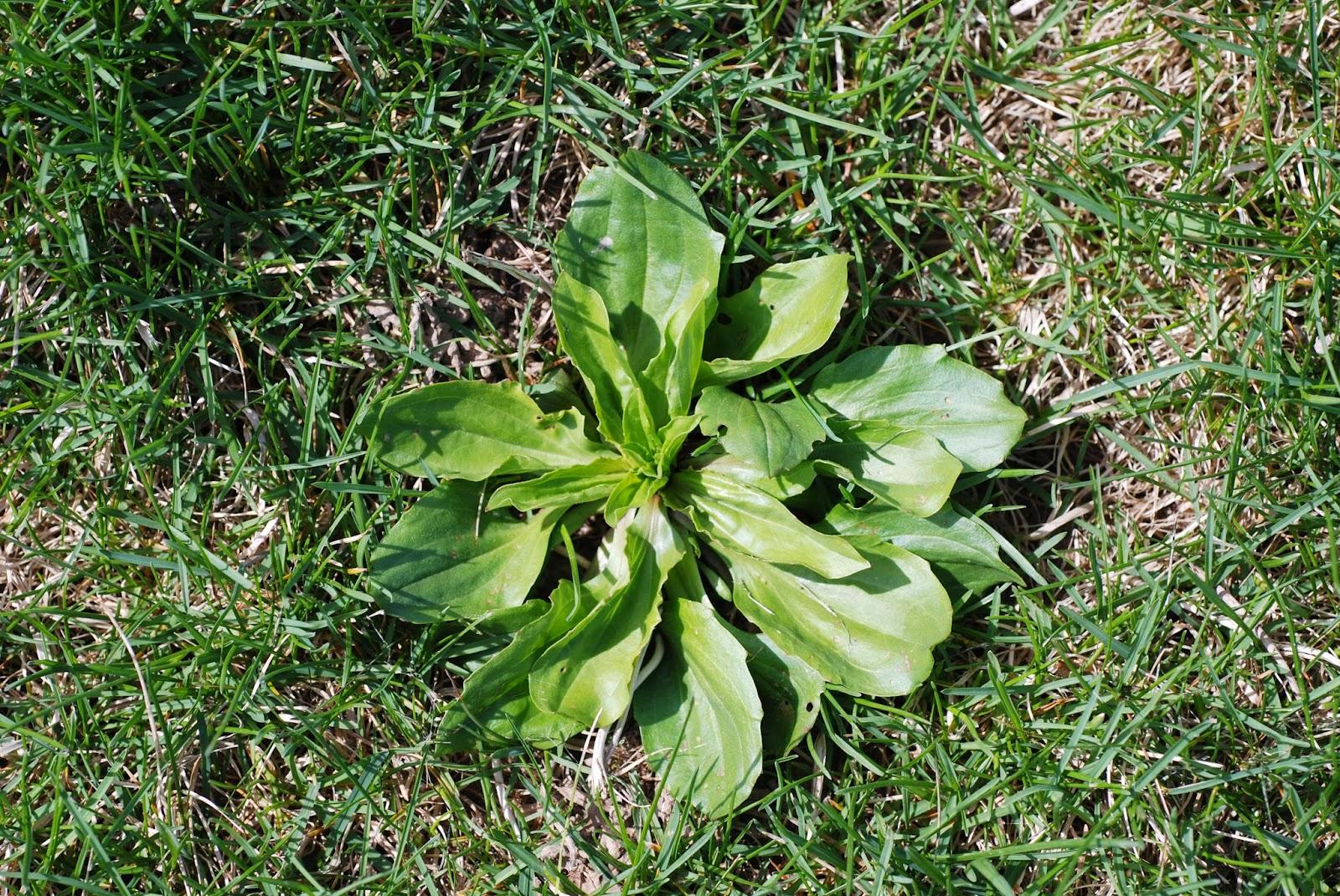 Broadleaf Plantain Weed