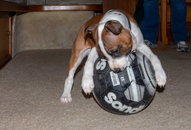 Photo of Ruby trying to eat a full-size football in Ravensdale's saloon
