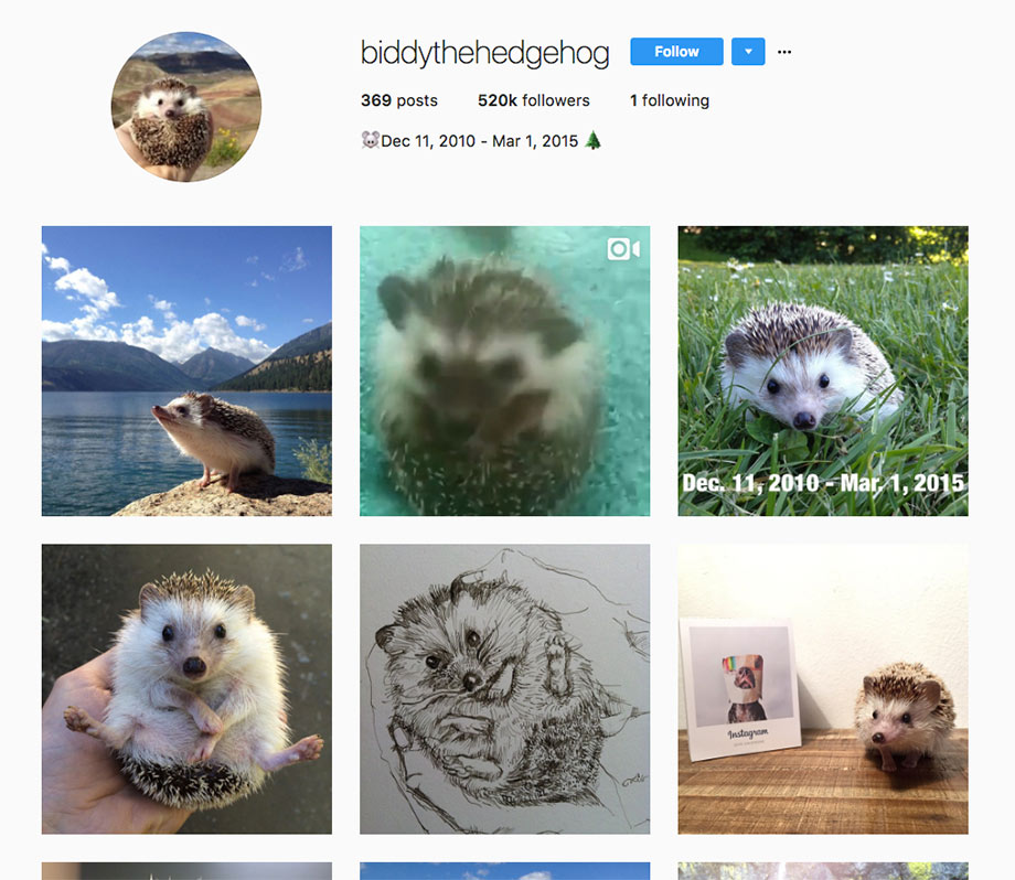 Instagram Biddy the Hedgehog