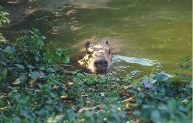 Capybara   Animal Wildlife