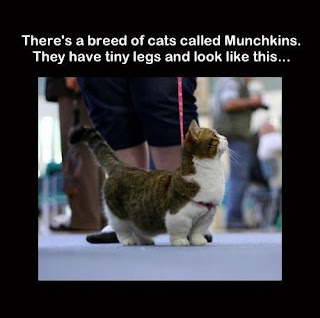 cute Munchkins Cat pitures