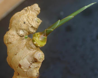 ginger buds