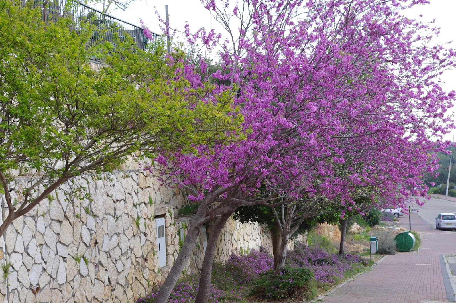 A Letter From Israel The Judas Tree Of Israel