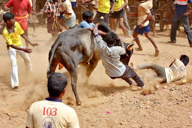 Amazing Photo Collection Jallikattu World Best Photo
