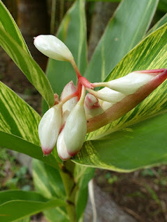 Larmes de la vierge - Gingembre coquille - Fleur coquillage - Alpinia zerumbet