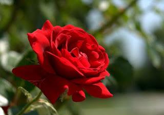 Gambar Bunga Mawar Cantik 4