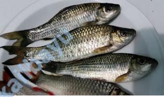 cara memancing ikan melem