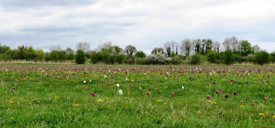 Snakeshead Fritillaries at North Meadow NNR, Cricklade.