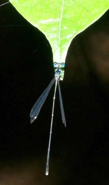 Coelicca albicauda