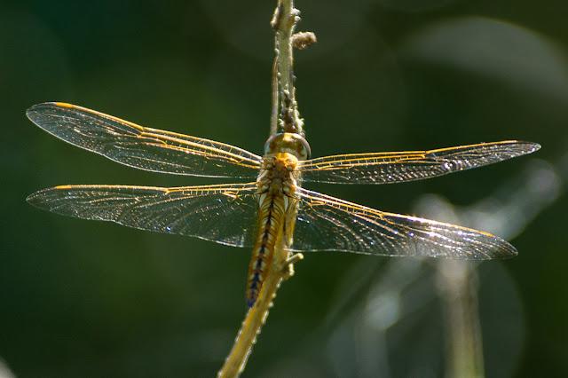 Wandering Glider, Smith Oaks Audubon Sanctuary