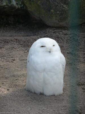 Imágenes aves: Lechuza blanca