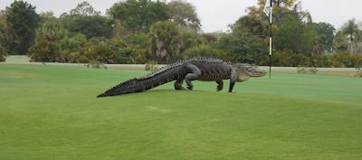 Another sighting of the giant alligator at the golf course