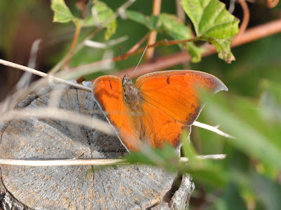 Goatweed Leafwing butterfly - A First Canadian Record