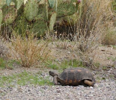 Tortue Désert Arizona