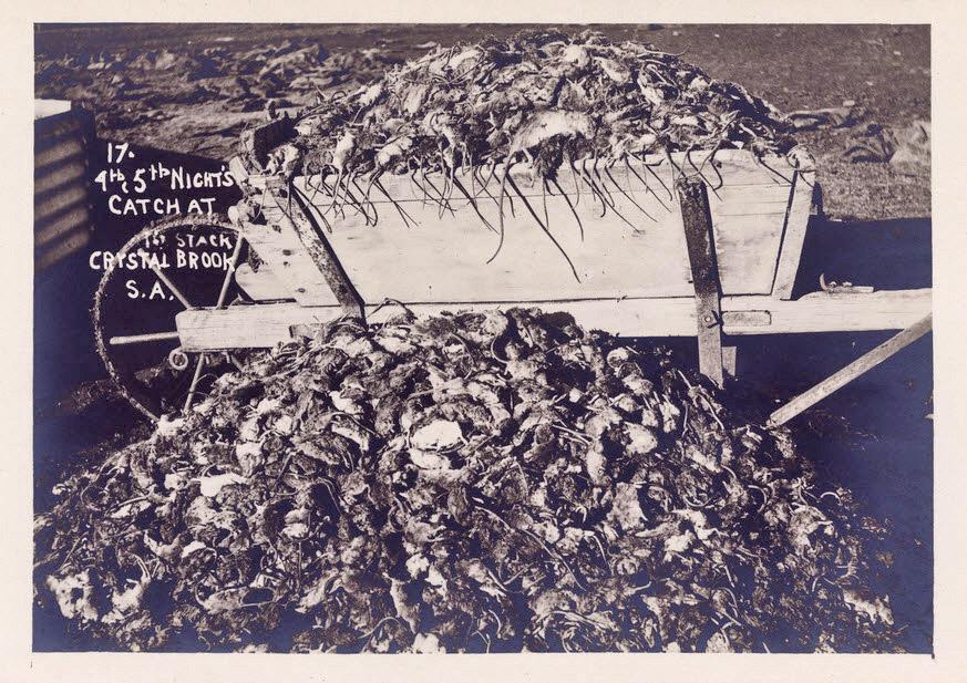 mouse plague australia