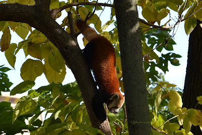 Reviewing What We Know About the Red Panda