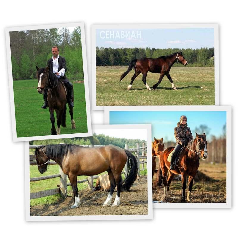 Хазар. Сенавиан, там где конные прогулки. Лошади в Тверской области.