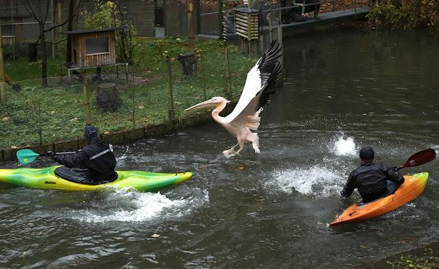 Полювання на пелікана