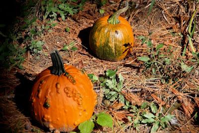 colorful pumpkin attract late season bees