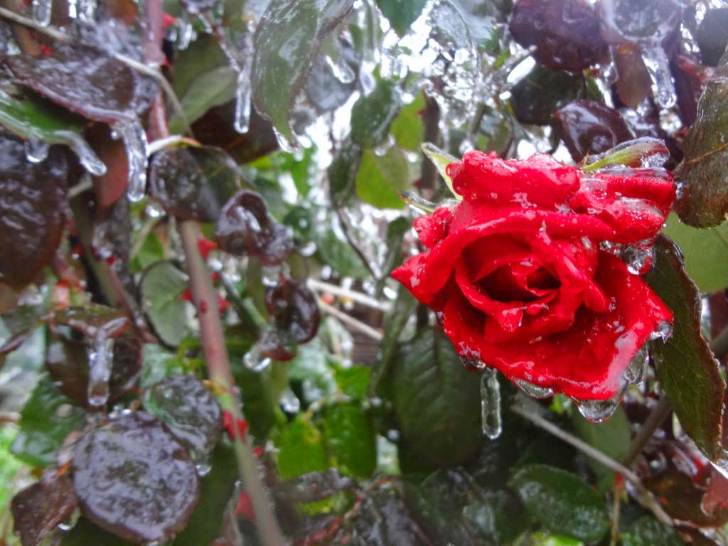 rose-in-winter-moon-soon-image