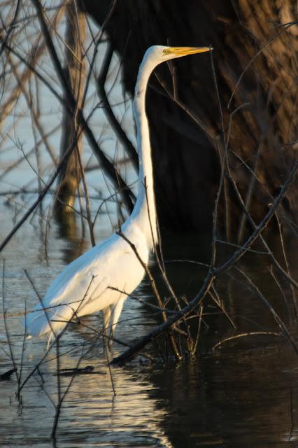 Great Egret, Murrell Park
