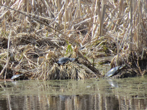 painted turtles sunning on springtime pond with brown vegetation