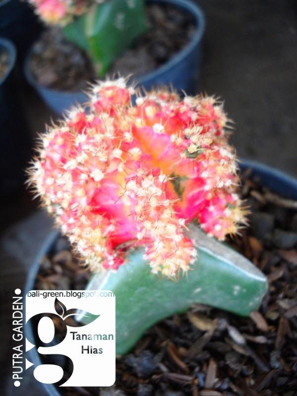 Putra Garden Bali Promo Tanaman Hias Kaktus Mini Untuk Souvenir