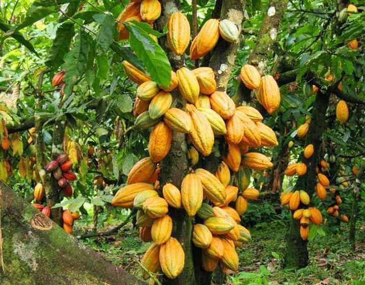Fiche Technique : Culture du Cacao