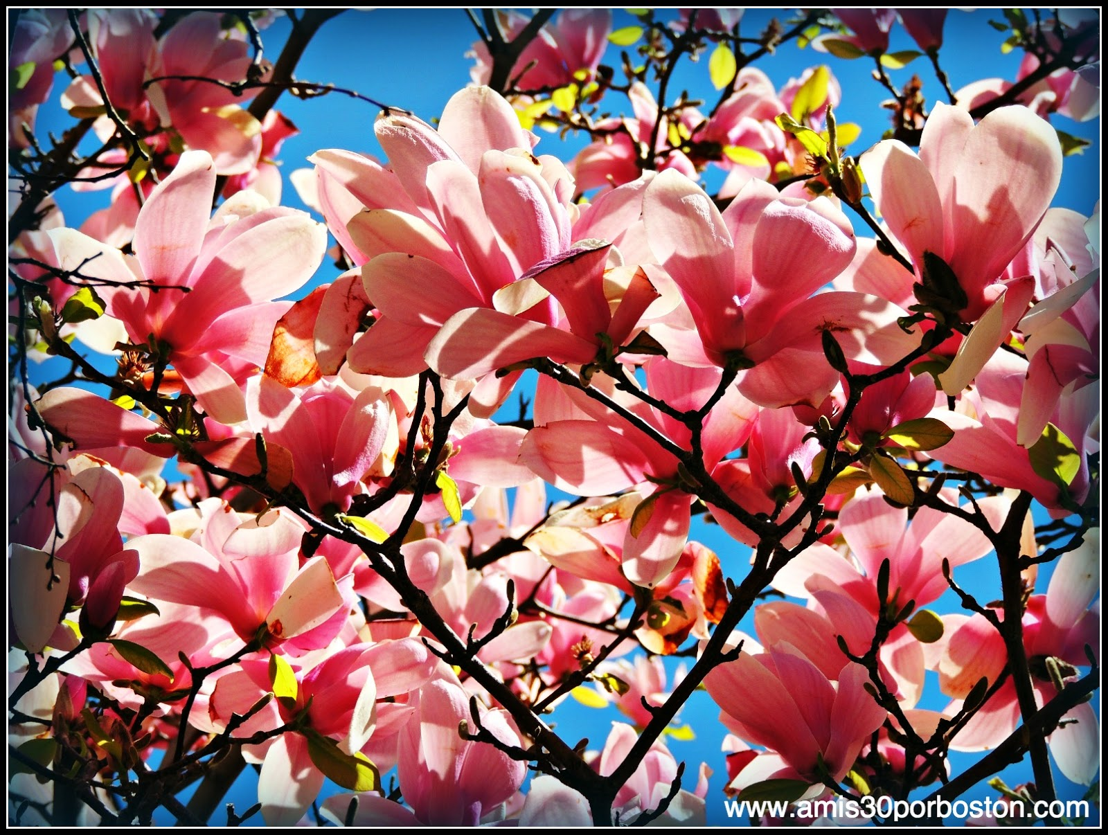 Primavera 2014: Magnolias