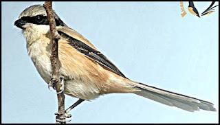 Burung cendet jawa timur