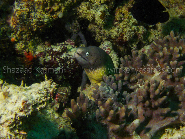 white eyed moray eel in kenya indian ocean, greyface moray eel indian ocean kenya