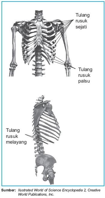 Skeleton Rangka Aksial  Struktur dan Fungsi