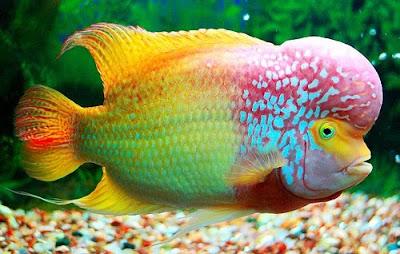 Ikan Louhan - Cara Budidaya Ikan Louhan