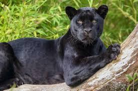 Onça, jaguar ou pantera negra com as manchar originais visíveis