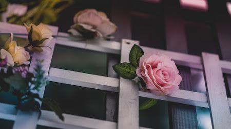 Beautiful Roses iPad