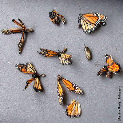 Dead New Monarch Butterflies